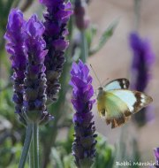ANGEL Butterfly and Purple flower ME. Bobbi Marchini